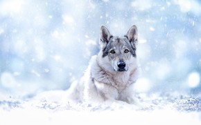 Picture look, face, snow, bokeh, Czechoslovakian, Wolfdog, The Czechoslovakian Wolfdog, Volkosob