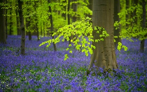 Picture forest, trees, flowers, spring, Belgium, bells, bell, woodlands