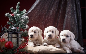Picture holiday, watch, tree, puppies, trio, Retriever