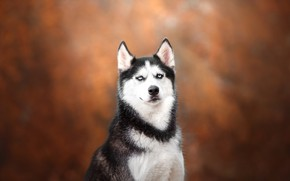 Wallpaper Husky, background, bokeh, look, dog, portrait
