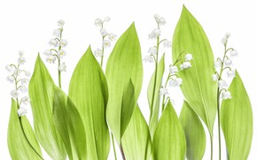 Picture leaves, background, lilies of the valley