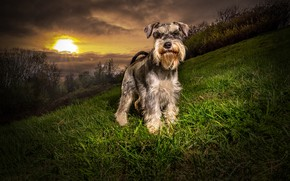 Wallpaper sunset, grass, greens, Schnauzer, the evening, the bushes, trees, nature, slope