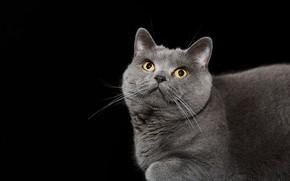 Picture cat, background, British blue shorthair