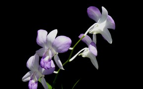 Picture background, petals, Orchid, inflorescence