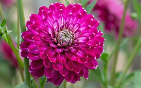 Wallpaper garden, flower, Dahlia, petals
