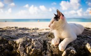 Picture sea, summer, cat, background, Kota