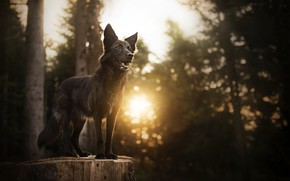 Picture forest, the sun, stump, dog