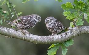 Picture leaves, birds, branch, owls, a couple, oak, The little owl
