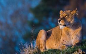 Wallpaper grass, look, face, light, cats, pose, background, Leo, beauty, lies, wild cats, lioness, blue background, ...