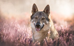 Picture look, face, bokeh, Heather, a hybrid of dog and wolf, Volkosob