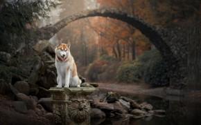 Wallpaper stones, river, forest, autumn, Husky, nature, bridge, dog