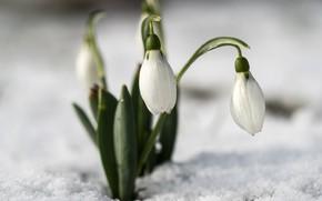 Picture macro, snow, spring, snowdrops