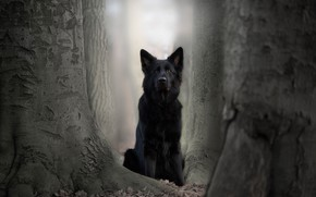 Picture trees, dog, German shepherd