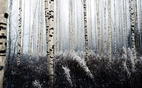 Picture cold, winter, forest, birch