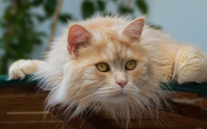 Picture cat, look, muzzle, Kote, red cat, cat