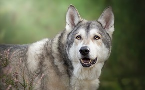 Wallpaper look, face, background, Heather, Czechoslovakian, Wolfdog, The Czechoslovakian Wolfdog, volkosob