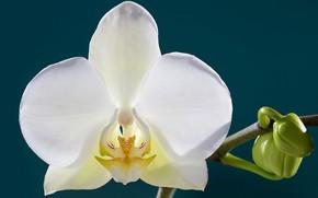 Wallpaper petals, flower, Orchid