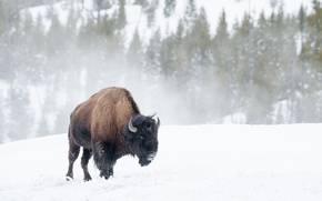 Picture winter, snow, Buffalo