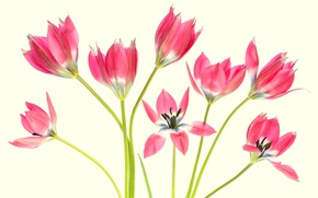 Picture background, stems, tulips, Tulips