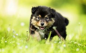 Wallpaper grass, look, dog, baby, puppy, bokeh, Finnish lapphund