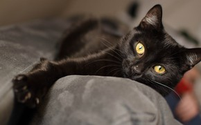 Picture cat, cat, sofa, black, paw, lies, handsome, yellow eyes