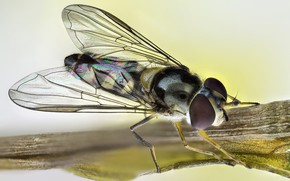 Picture fly, insect, rainbow wings