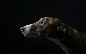 Picture face, background, dog, spot