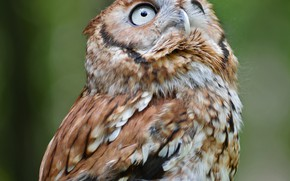 Picture owl, bird, looking up, by Nushaa