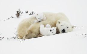Wallpaper bear, bears, polar bears, polar bears, snow, bears