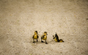 Picture nature, walk, ducklings