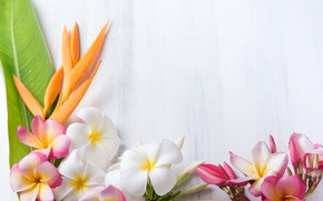 Picture flowers, background, plumeria