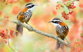 Picture birds, nature, berries, branch, pair, Taiwan