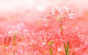 Picture red, petals, spider Lily