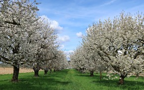 Picture spring, garden, flowering trees