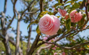 Picture pink, branch, Camellia