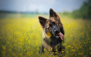 Picture language, face, flowers, dog, meadow, bokeh, German shepherd