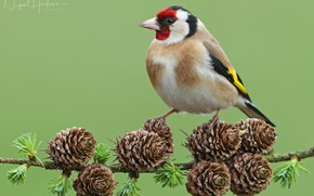 Picture bird, branch, bumps, goldfinch