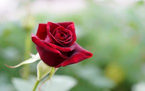 Picture rose, Bud, Burgundy