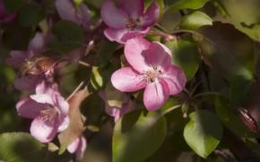 Picture macro, tree, pink, Apple