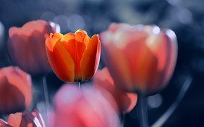 Picture flowers, tulips, bokeh, Katrin Suroleiska