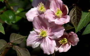 Picture pink, clematis, clematis