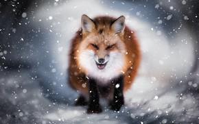 Picture winter, snow, Fox, face, evil Fox