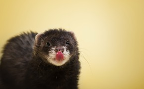 Picture nature, background, ferret