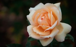 Picture drops, macro, background, rose, petals, Bud