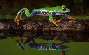 Wallpaper water, macro, nature, reflection, the dark background, tree, frog, log, green, crossing, pond, fauna, dendrobates