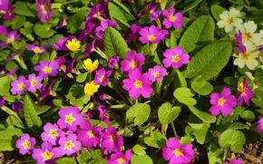 Picture spring, primrose, Primula