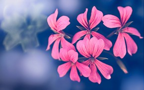 Picture flowers, nature, petals, inflorescence