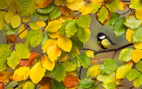 Picture autumn, leaves, branch, rtica, great tit