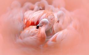 Wallpaper Flamingo, pink, birds