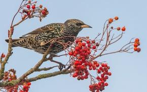 Picture berries, bird, Rowan, Starling